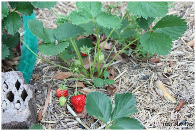 patch strawberries