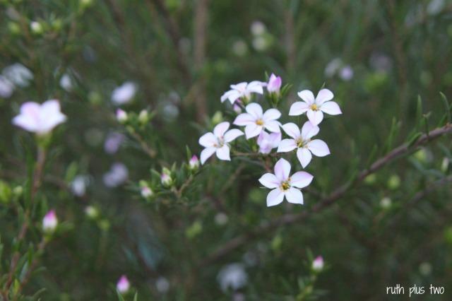 may bush