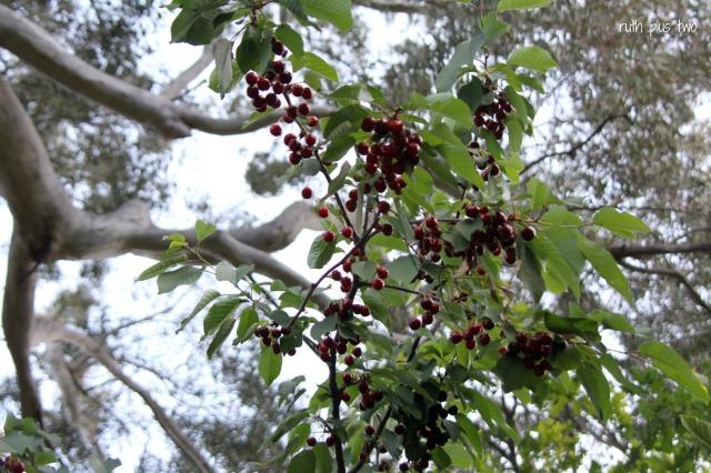 cherries up high
