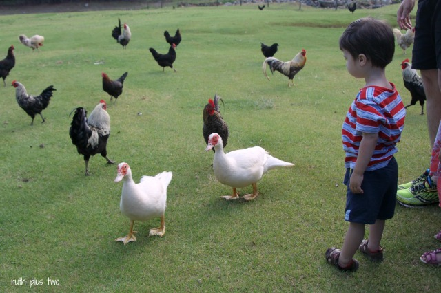Hugo with ducks and chickens