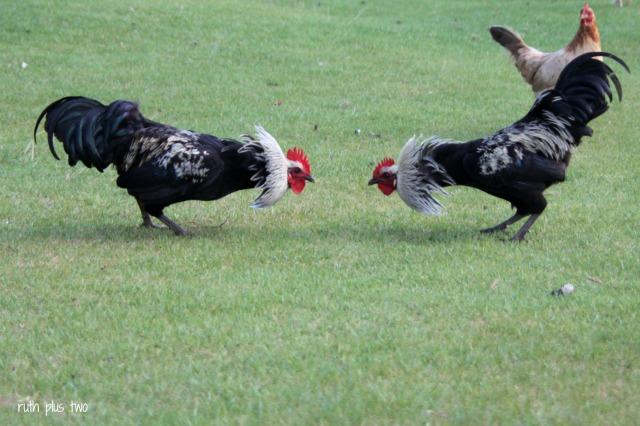 Norfolk roosters